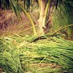ใช้ประโยชน์วัชพืชเป็นปุ๋ยพืชสดแลเป็นวัสดุคลุมดิน